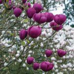 magnolija black tulip