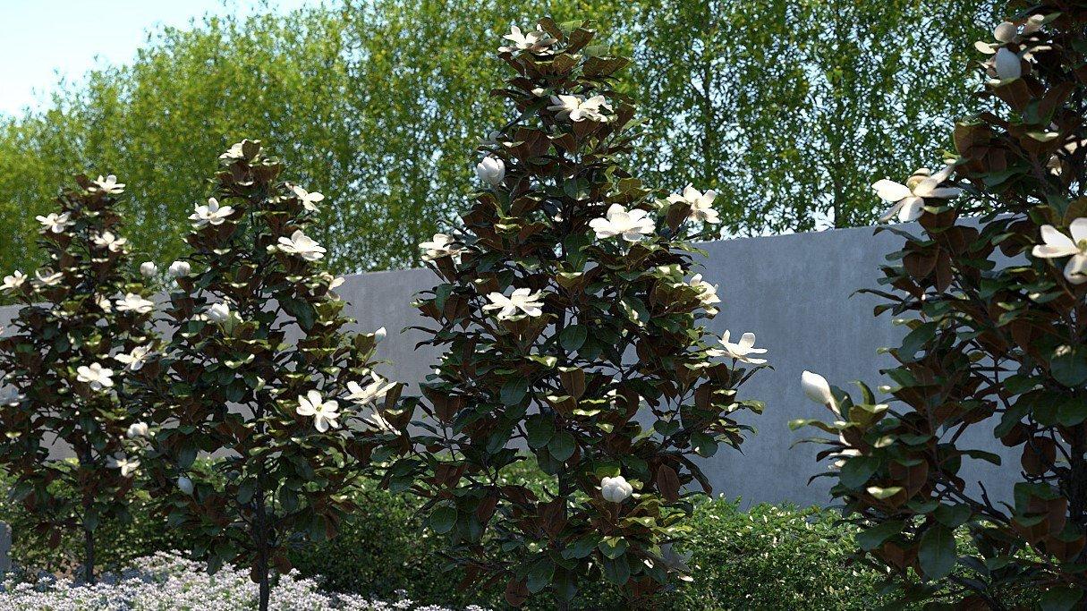 magnolija grandiflora litlle gem1