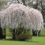 prunus snow fountains