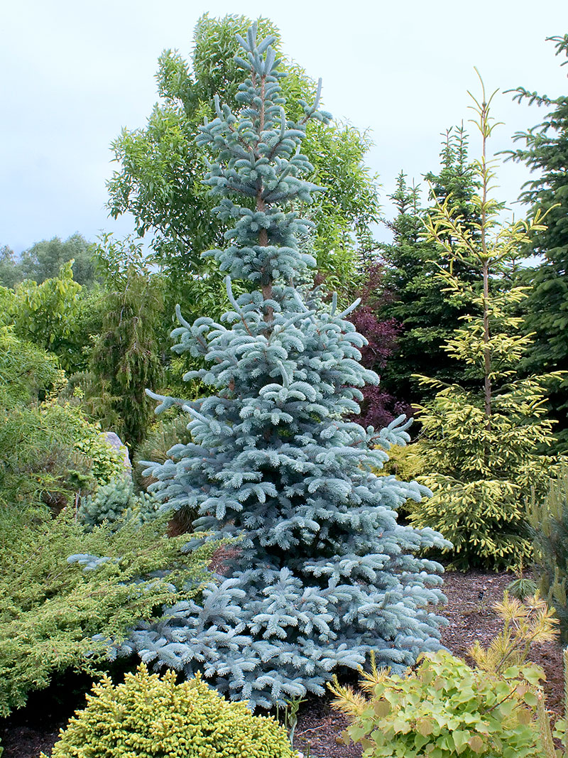 picea pungens hopsii1