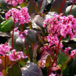 bergenia winter glow1