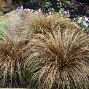 carex comans bronco