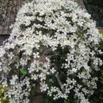klematis montana grandiflora1