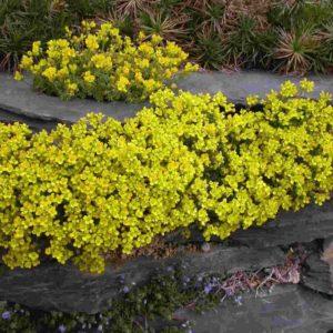 draba brunifolia