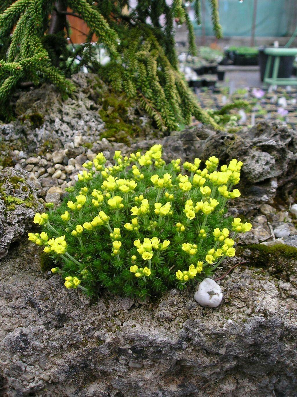 draba brunifolia1