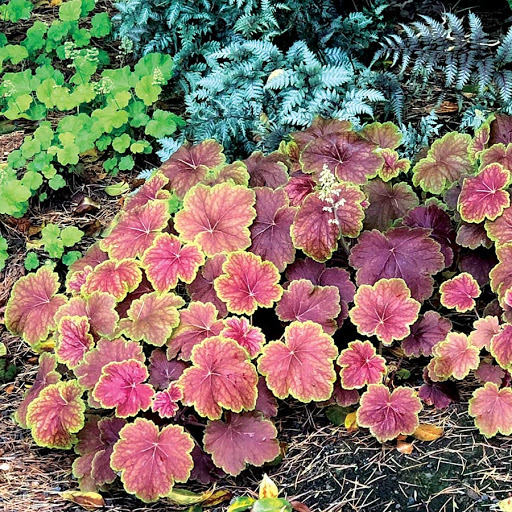 heuchera delta dawn1