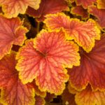 heuchera delta dawn