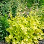 heuchera lime marmalada