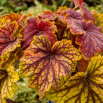 heuchera red lighting