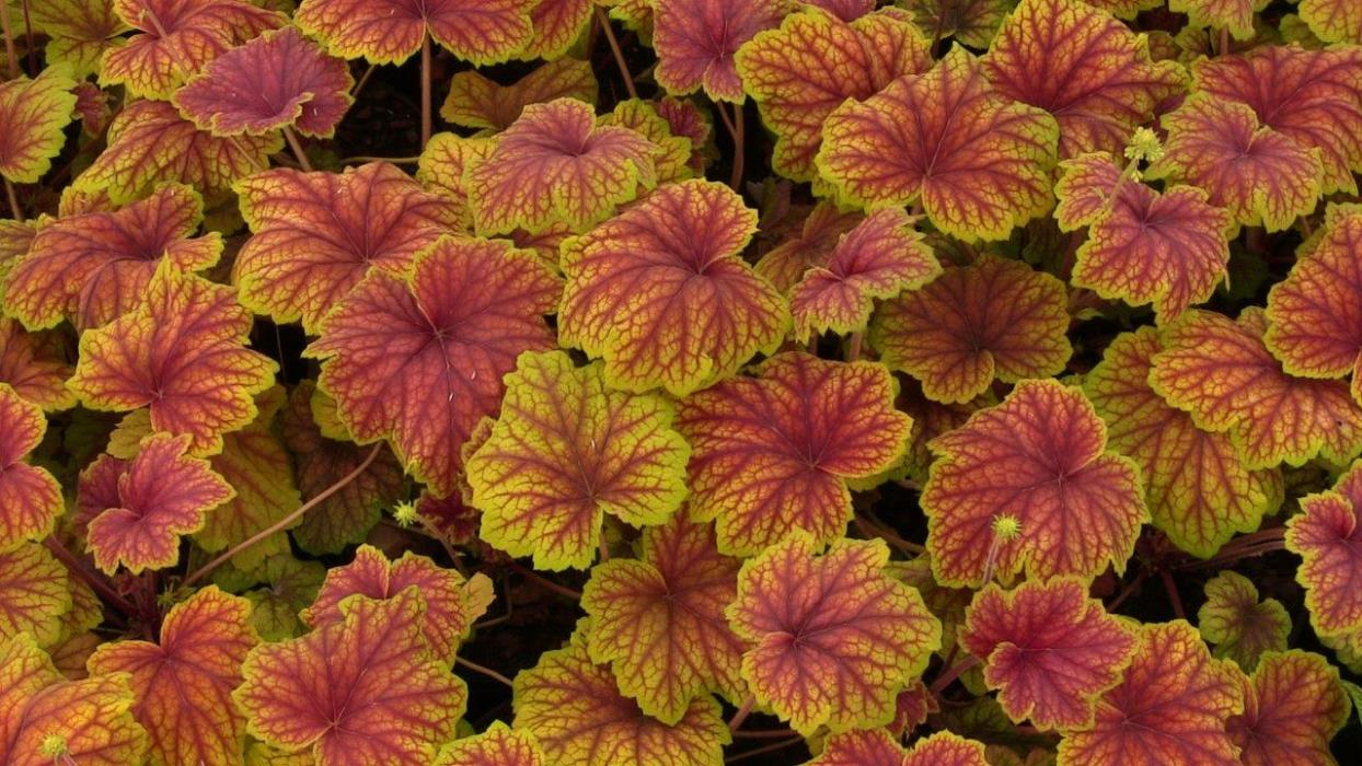 heuchera red lighting1