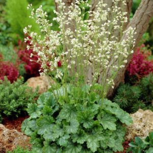 heuchera sanguinea white cloud