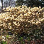 edgeworthia chrysantha grandiflora
