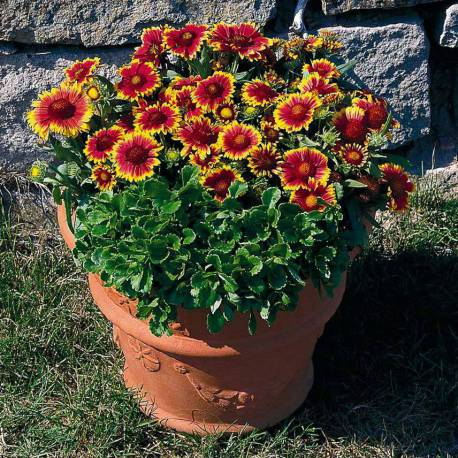 gaillardia arizona sun1
