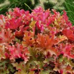 heuchera marmelade