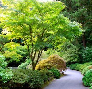 acer palmatum - zeleni