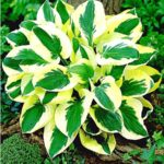 hosta brim cup