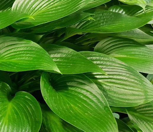 hosta devon green1