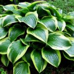 hosta queen josephine