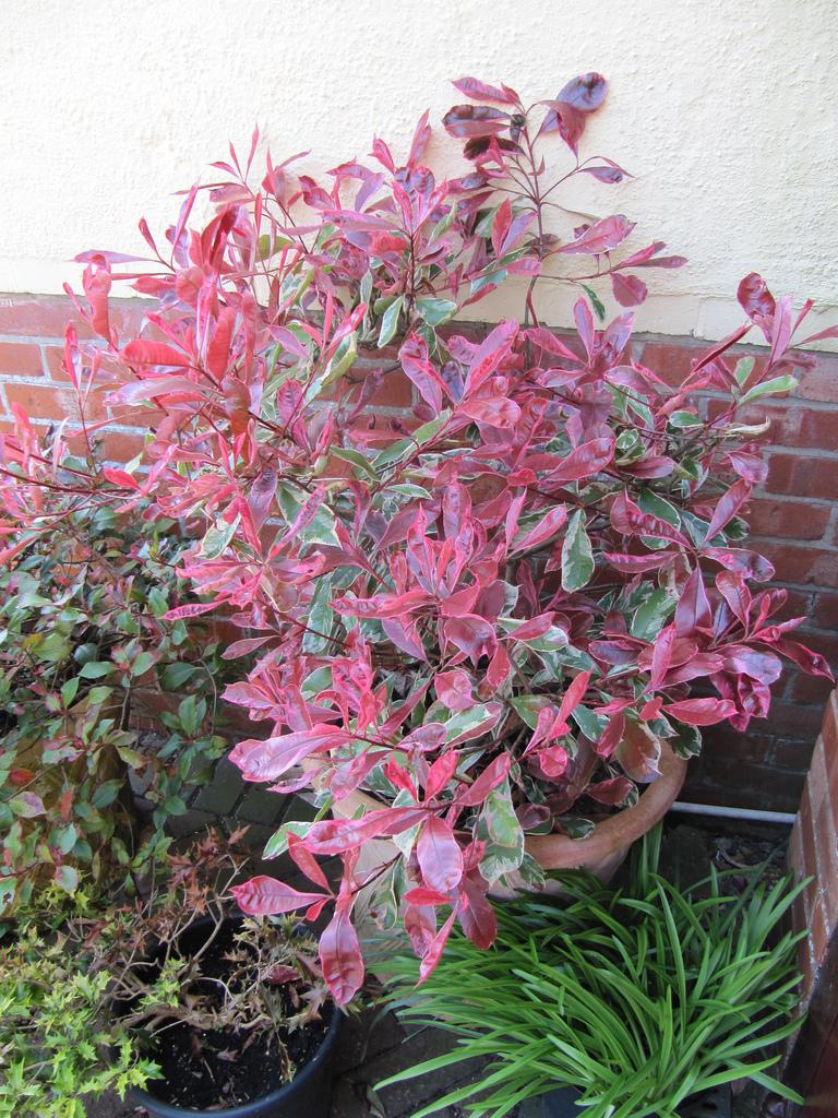 photinia pink marble2