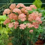 achilea millefolium peachy seduction