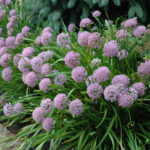 allium niski roze