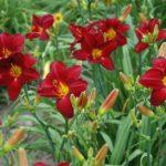 hemerocallis chikago ruby