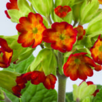 primula veris orange