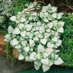 white lamium