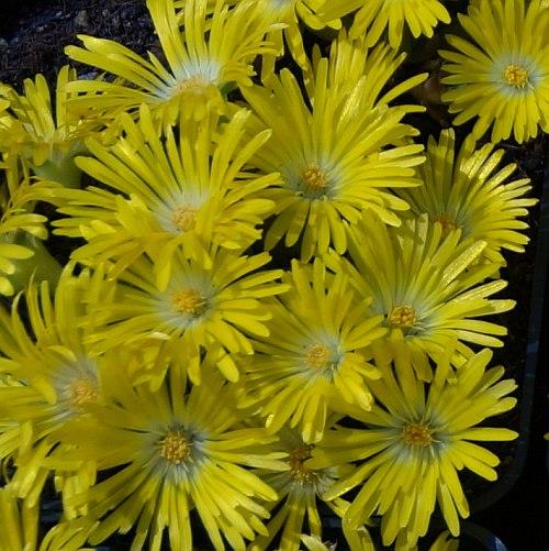 Delosperma congestum yellow1