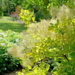 cotinus golden spirit1