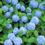 hortenzija plava