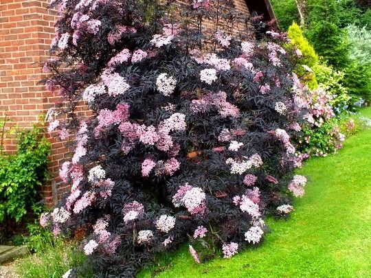 Sambucus nigra black beauty1