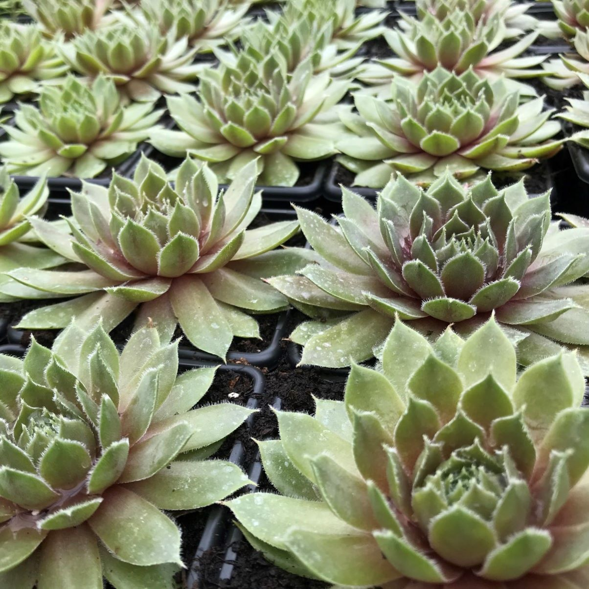 Sempervivum ruby heart1