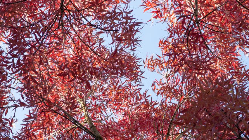 fraxinus angustifolia raywood1