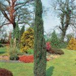 juniperus hibernica sentinel1