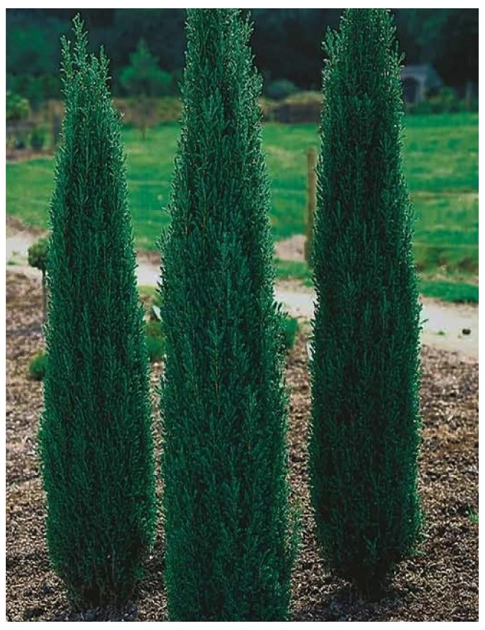 juniperus hibernica sentinel