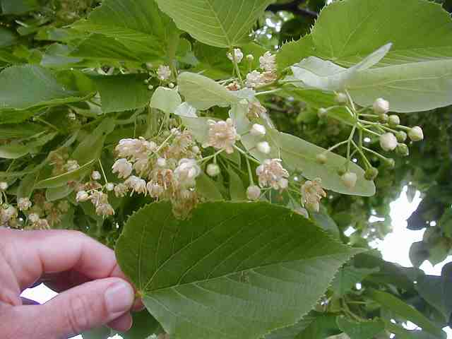 tilia americana redmond lipa1