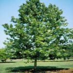 platan - platanus acerifolia