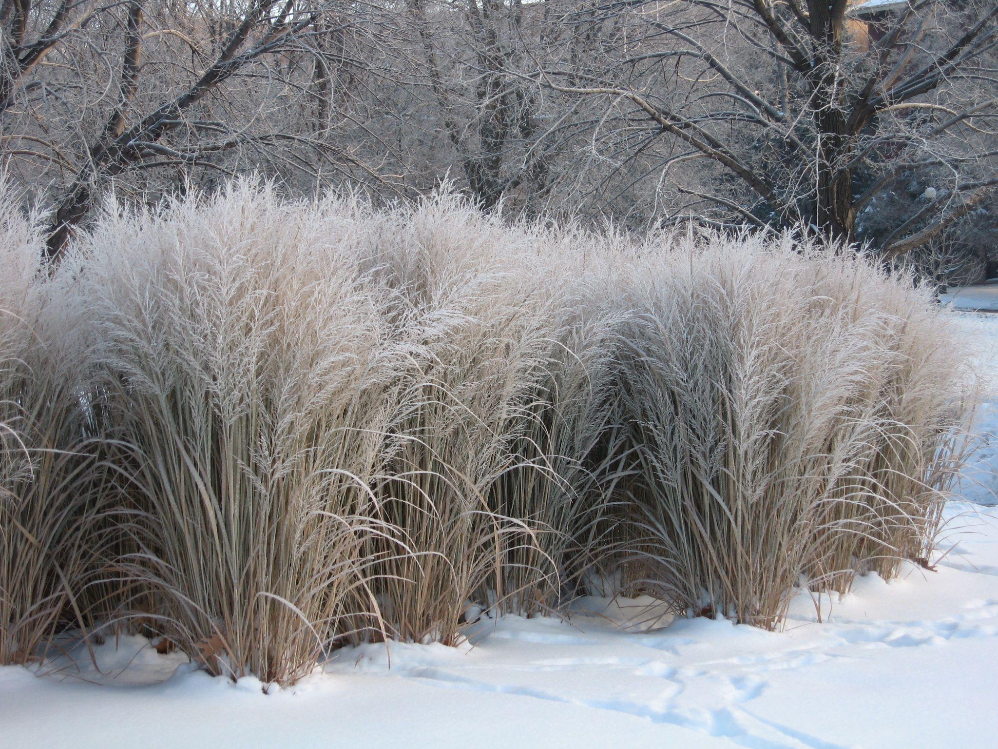 vrt tokom zime - ukrasne trave