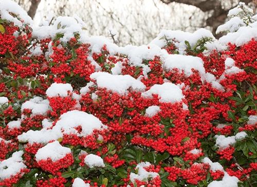 vrt tokom zime - pirokanta crvena1