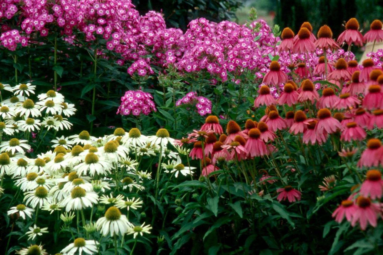 ehinacea - ukrasna biljka