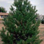 beli-bor-pinus-sylvestris1