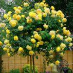 ruža-nadia-žuta-padajuća