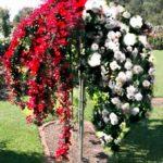 padajuća-ruža-dvobojna-belo-crvena