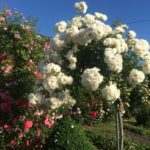 Kuglasta Schneewitchen ruža stablašica 2