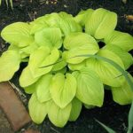 hosta tortilla chip