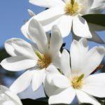 magnolia fairy white1