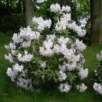 rododendron conninght white