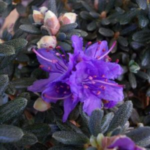 rododendron impeditum arctic blue