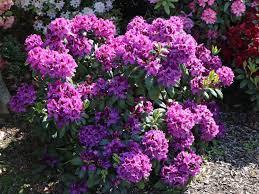 rododendron rasputin1